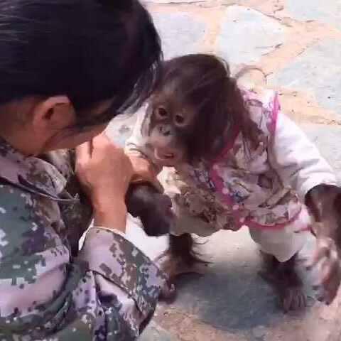 """昆明""""云南野生动物园""""遇到一只萌萌的小猩猩二毛.看看"""