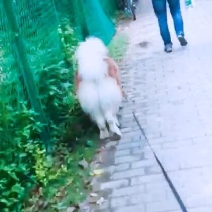这儿有粑粑 别让他过来。#宠物##球球崽崽##阿拉斯加#