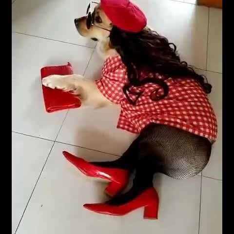 【最萌宠美拍】#宠物#这是一只有故事的金毛。😃