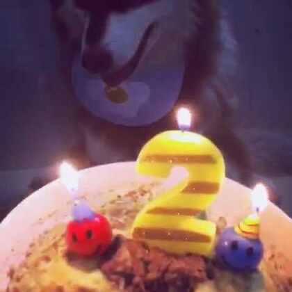 去年生日买了一个很漂亮的宠物蛋糕,但球球一口也不吃。这次的蛋糕是自己做的 卖相不好 。但球球都吃光啦。☺#宠物##球球崽崽#