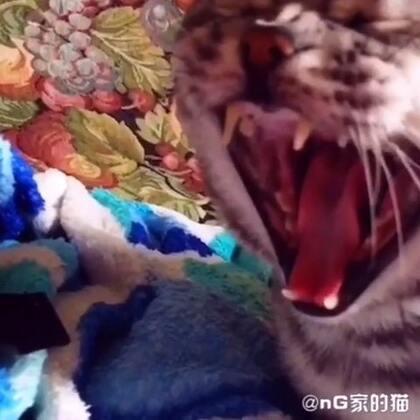 呵欠#宠物#@nG家的猫
