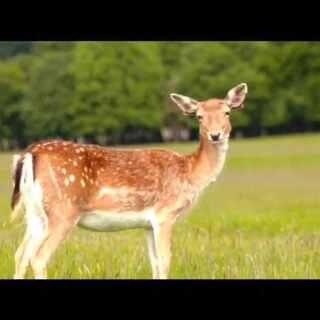 我们一起去喂鹿 约吗?#爱尔兰##欧洲公园##喂鹿##陪你去看鹿喂鹿去你要去的地方##爱尔兰都柏林##在都柏林##航拍##sony##大疆航拍#