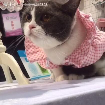 #2016深圳宠物展#今天带喵妹去逛了,途中竟遇到两只稀有品种🐱(分别为薮猫和狞猫)简直帅爆了😍😍#宠物#