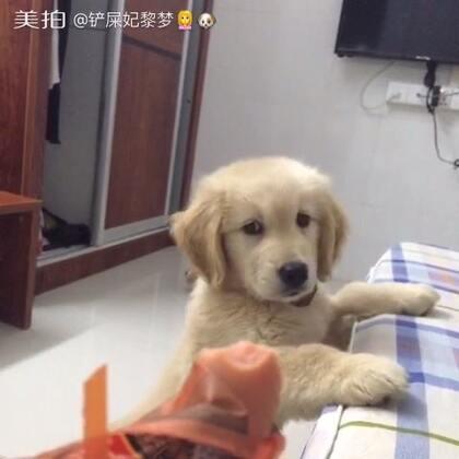 #萌宠##萌宠金毛狗狗##晚安#太可爱了,叫不许吃就不吃,知道你想吃啦还装作什么都没看见的样子,后面还是叫它吃了😊😊