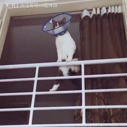 🙄喵妹监工,铲屎的有认真干活😒非要挂那么高监督我吗😑监工你这样子一点都不凶👏🏻还特别萌(大家不要担心,阁楼不高,而且阁楼底下就是专门定制的顶到天花板的猫爬架😁)#宠物##喵星人#