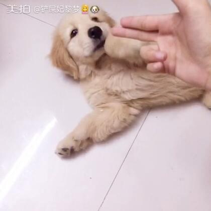 #美拍新人王##汪星人##训练狗狗##晚安#好久没更新啦,现在宝宝快两个月大了,我在训练它装死,很快就学会了呢,,狗狗们都很乖的,就要看有木有耐心啦😘😘