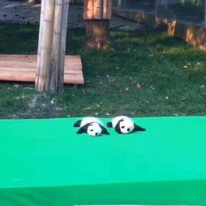#旅画映像##旅行##成都##成都大熊猫繁育研究基地#憨憨的熊猫们