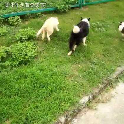 【深圳兄弟联盟犬舍美拍】16-10-23 15:15