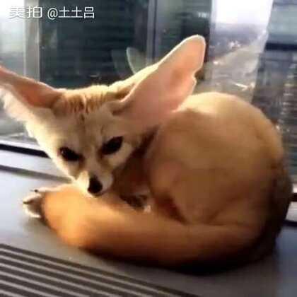 这有只暴脾气的小九喇嘛,鸣人快来收了这小妖狐。 #宠物#