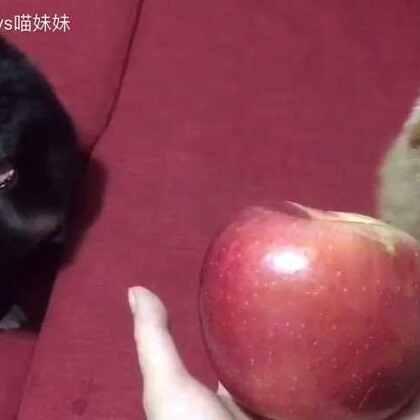 排排坐,吃果果🍎俩汪哥,爱苹果🍎仔仔最近身体恢复很好了😘已经会要吃,刚好西安朋友蝉儿邮了箱大苹果🍎哥俩等着要吃呢🐶特别是仔仔,很爱吃☺#宠物##宠物吃苹果##黑仔BB#