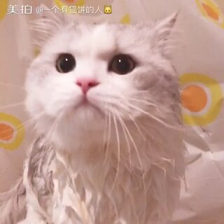 #喵星人##家有喵星人##我和喵星人的日常##萌宠##家有萌宠##我要上热门@美拍小助手#Mochi最讨厌的洗澡来了