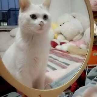 镜中喵🐱✨✨ 喂!魔镜啊魔镜~快些照出宝宝的内心吧🐯🐷🐮🐭🐶🐱🐹🐰#喵星人##宠物##宠物照镜子#