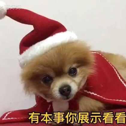 心机喵抢镜又抢衣🙈仔仔欲哭无泪😂好好好,你颜值高🙄你说啥都对。本仔哥不穿了,吃鸡肉去😐#宠物##宠物内心小剧场##萌宠圣诞cosplay#