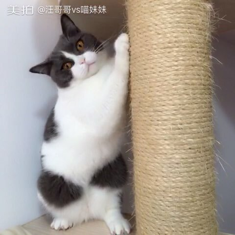 【汪哥哥vs喵妹妹美拍】互动小游戏,摸屁股,玩拍手,全...