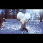 #梅花鹿##雪地玩耍#