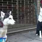 """两位小哥在街头做了个实验,他们把狗狗拴在街上,并留下""""由于破产希望有好心人照顾它们""""的信息,想看看狗狗会有什么样的遭遇,没想到最后还是收获了一份感动。❤"""