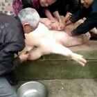 这猪绝对成精了😂😂😂,尼玛 金刚猪