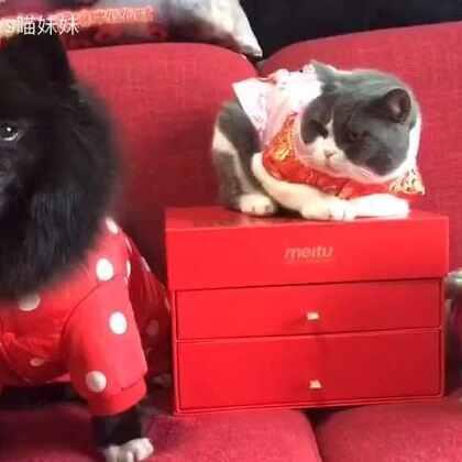 🎉新年第一天,铲屎官2号给三个宝贝发红包咯👏🏻在这里😊铲屎官1号和2号携三宝贝㊗大家新年大吉!🌹#宠物##过年穿这样##萌宠拜年秀#