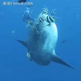 #潜水#大堡礁潜水,美哭啦!itrip全新上线潜水板块,一起来约会蓝色世界吧!http://www.itrip.com/aodaliya/w-a546?lv=196728&ozs=96254-2194 #澳大利亚大堡礁#
