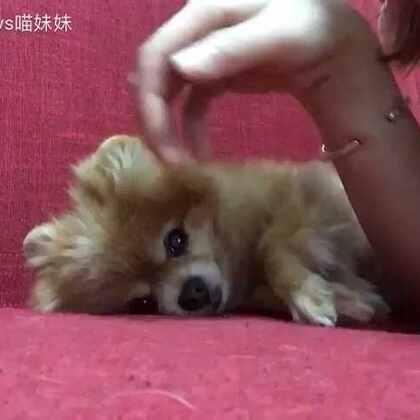 古灵精怪的仔仔😏家有宠物的,沙发到处都是毛😂#宠物##求摸摸#