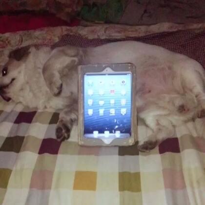 这个好……小狗支架…看视频很方便😹😹😹#随手美拍##宠物##我的宠物萌萌哒#@丸子轮—它爸 @美拍小助手
