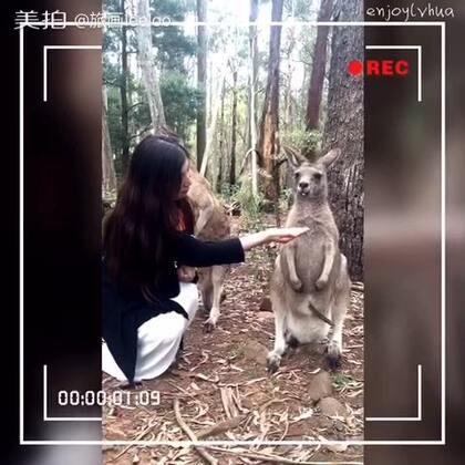 #袋鼠##澳洲##旅画映像##旅行#喂袋鼠~