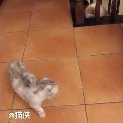 #宠物#猪哥 你的霸气呢……😂😅@猫侠