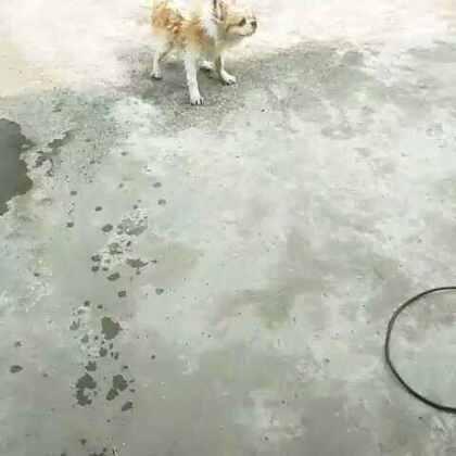 甩甩甩#甩水吧!狗狗君#趁着天热给灰灰洗了澡😂😂