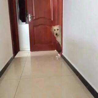 狗才,厨房的土豆都跑卧室去了#宠物##金毛##搞笑#