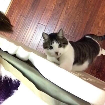 #一起走进西蒙剧#一月沙发帝@叮当猫喵喵喵😽 点播的【西蒙剧】,沙发帝说只要西蒙说话就行,好吧!……😆🙈瞧瞧,西蒙又在捣鼓啥?😜#宠物##每月点播#
