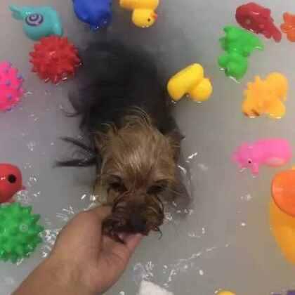 昵昵spa游泳减肥#宠物生活#