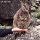 #神奇宝贝#袋鼠的口袋是收缩的洞洞你知道吗?#澳大利亚##动物#