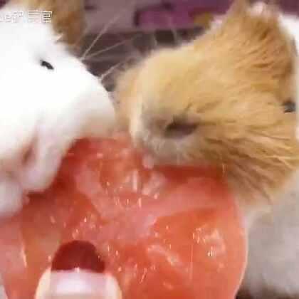 #荷兰猪##小灰灰和屎毛毛的幸福生活# 灰毛最期待的每晚果蔬时间~🍅🍃🌿#萌宠#