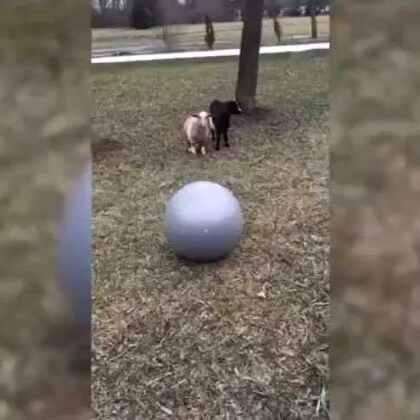 这是两只羊吗?笑死人了!好会演😂