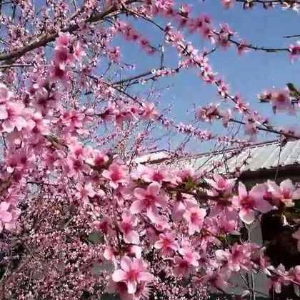 #最美家乡##向往的生活#家乡春天,美,这两年变化挺大。越来越好😊。