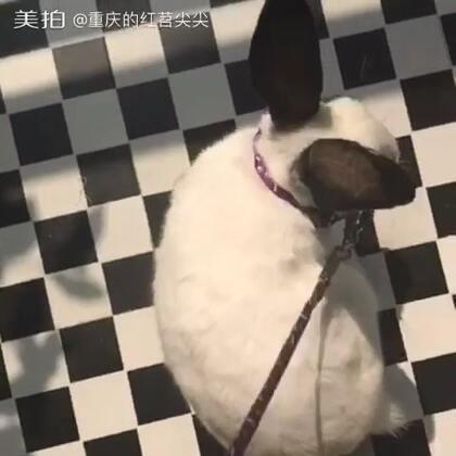 阳光甚好,把兔兔牵出来遛一遛,晒个太阳,哈哈哈😂#萌宠#@美拍小助手