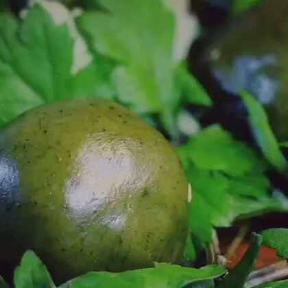 """#古香古食# 清明雨上,做个""""青团子""""吃吃! (艾草是植物界的万精油,好处多的数不完。嫩嫩的艾草糯米团子配上这春季第一茬嫩笋子炒腊肉,香的啃手指是真的! 嗯,这次逮5个吃货宝宝每人送又嫩又新鲜的第一季春笋5斤!5斤5斤!自己有竹林就是这么任性!😈)#美食#"""