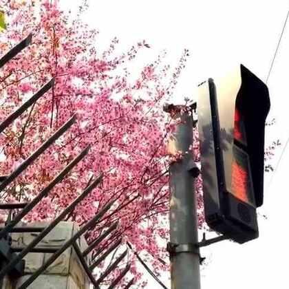 #旅行##北京##春天#浪漫满城