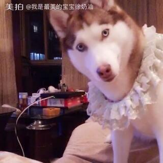 #宠物##哈士奇#😂徐奶油:咋的,难不成还是本狗放的?
