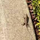 旧金山蜥蜴……