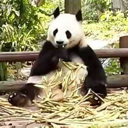 胖达!#大熊猫##panda#