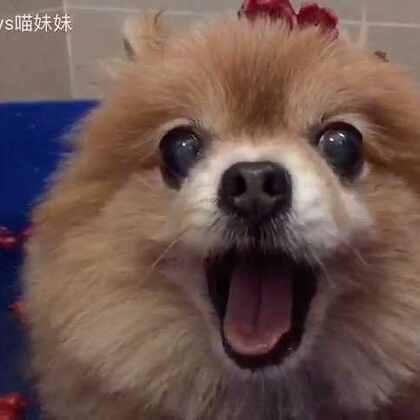 #宠物#🌹花瓣浴泡起来🛀🏼😍 汪界第一美男就是我😂😂#给宠物洗澡##喵汪洗澡记#