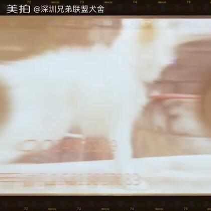 【深圳兄弟联盟犬舍美拍】05-01 20:39