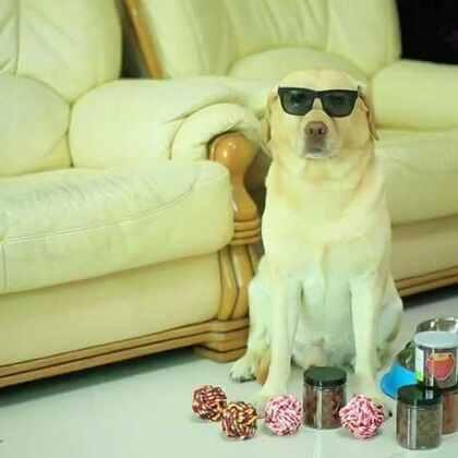 """""""小布是一条会购物的狗狗"""" 小伙伴们快来参与评论 布粑将从精彩评论里抽取10位幸运小伙伴 送出精美小礼品哦 #京东超市萌宠挑战赛##我要上热门#"""