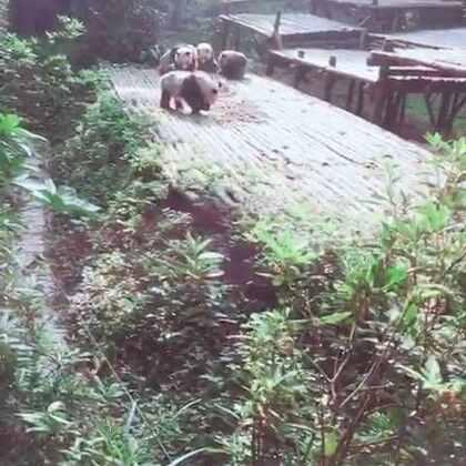 熊猫基地一日游#动物##熊猫#