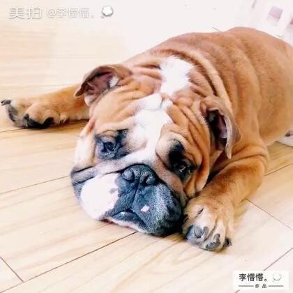 嗯~我相信你是真的睡着了🙈#第一个美拍##英国斗牛犬#