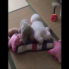 家里的小狗狗居然假装自己是个玩具的狗狗,萌死了!!!