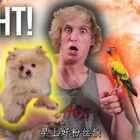 kingKong vs.Maverick! 当我的狗狗遇上我的鹦鹉后..#热门##搞笑##宠物#