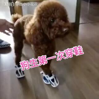 想起我家以前养得芊芊,第一次穿鞋就是这样,走不会道了 😂#宠物##汪星人##逗比#
