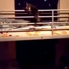 这猫厉害了!经常看女排吧!#宠物#
